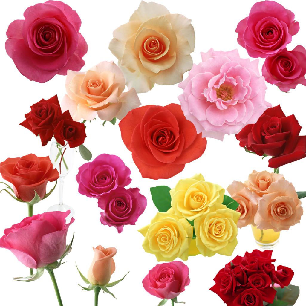 玫瑰花玫瑰素材玫瑰单品